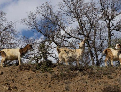 Como as pastagens naturais afectam a qualidade do leite de cabra e permitem o seu rastreio